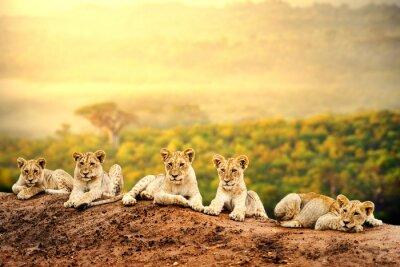 Poster Filhotes de leão esperando juntos.