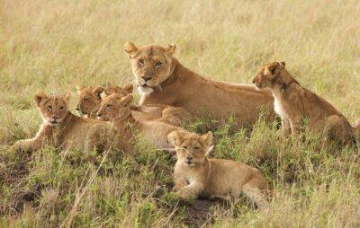 Poster Filhotes de leão pequeno que relaxam