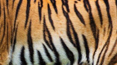 Poster Fim, cima, tigre, pele, textura
