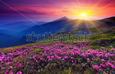 Poster Flores de rododendro rosa mágica na montanha de verão
