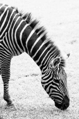 Poster Foto preto e branco da zebra