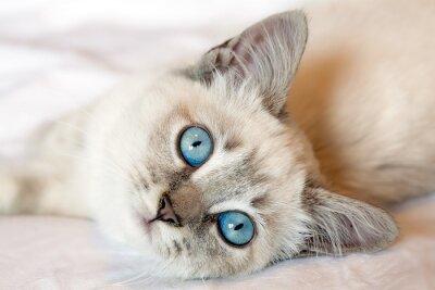 Poster Gatinho dos olhos azuis