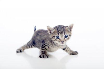 Poster Gatito con las patas abertas