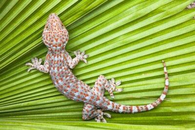 Poster Gecko manchado em uma palma da folha verde.