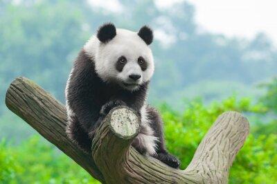 Poster Gigante de escalada urso panda na árvore