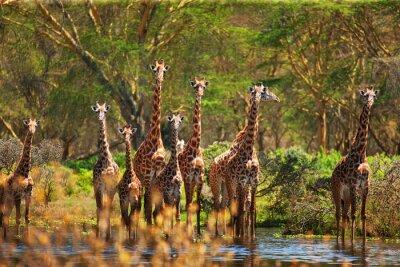 Poster girafa