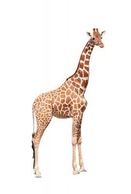 Poster Girafa ao máximo. É isolado no branco