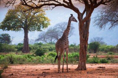 Poster Girafa com árvore do baobab