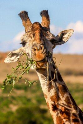 Poster Girafa comendo