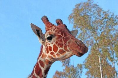 Poster Girafa foto