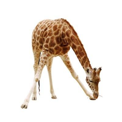 Poster girafa grande isolado em um fundo branco