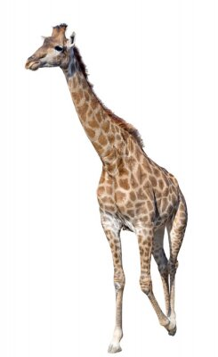 Poster Girafa isolado no fundo branco