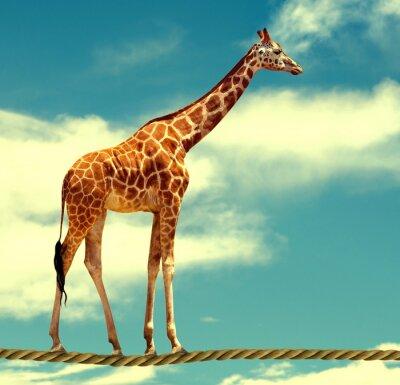 Poster Girafa na corda