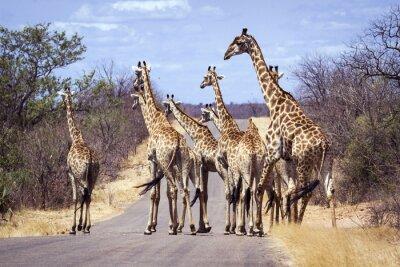 Poster Girafa no parque nacional de Kruger
