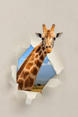 Poster Girafa, olhar, através, buraco, rasgado, papel