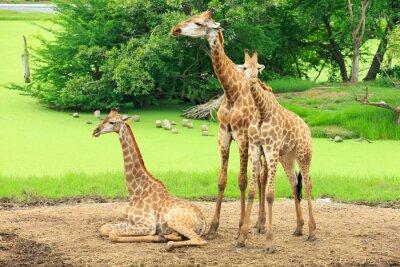 Poster girafas