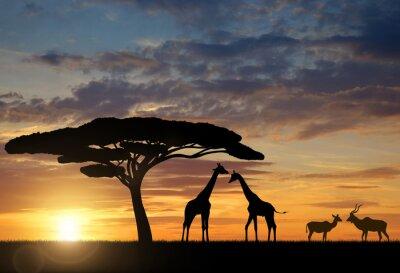 Poster Girafas com Kudu ao pôr do sol