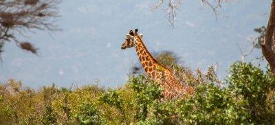 Poster Giraffe em Tsavo East National Park