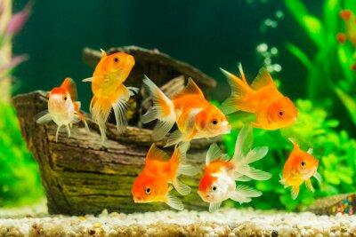 Poster Goldfish no aquário com plantas verdes