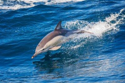 Poster Golfinho saltando fora do mar