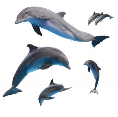 Poster golfinhos pulando no branco