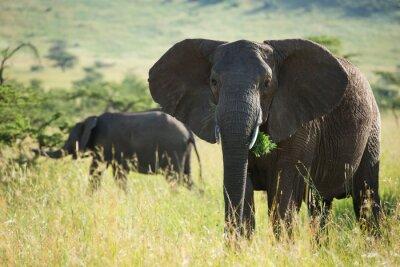 Poster Grande, africano, elefante, serengeti, nacional, parque