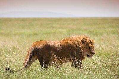Poster Grande, jovem, leão, serengeti, nacional, parque