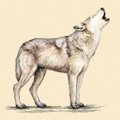 Poster Gravar lobo ilustração