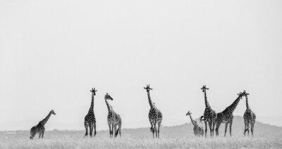 Poster Grupo de girafas no savanna. Quênia. Tanzânia. Este de África. Uma excelente ilustração.