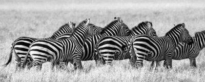 Poster Grupo de zebras no savana. Quênia. Tanzânia. Parque Nacional. Serengeti. Maasai Mara. Uma excelente ilustração.