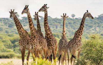 Poster Grupo, seis, girafas, Tarangire, nacional, parque, Tanzânia