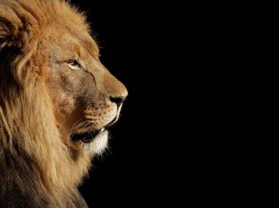 Poster Homem Africano leão no preto