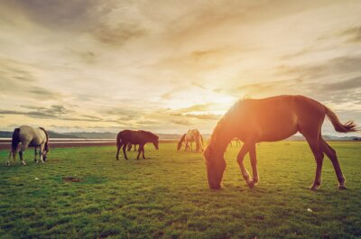 Poster Horses on the field grass with sunset vintage and retro style