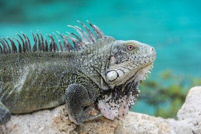 Poster Iguana em Playa Lagun, Curaçao