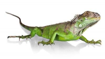 Poster Iguana, Lagarto, réptil.