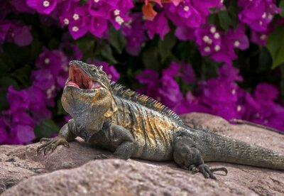 Poster Iguana verde (Iguana iguana) tomando sol em uma rocha