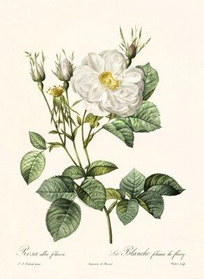 Poster Ilustração antiga de Rosa alba foliacea. Criado por PR Redoute, publicado em Les Roses, Imp. Firmin Didot, Paris, 1817-24