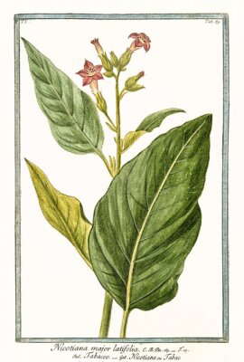 Poster Ilustração botânica antiga de Nicotiana major (Nicotiana tabacum). Por G. Bonelli em Hortus Romanus, publ. N. Martelli, Roma, 1772 - 93