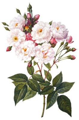 Poster ilustração da flor