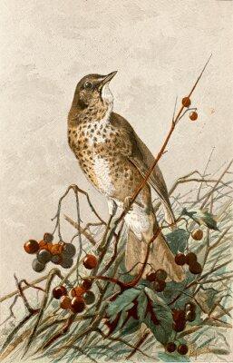 Poster Ilustração zoologique / Turdus philomelos / Grive musicienne