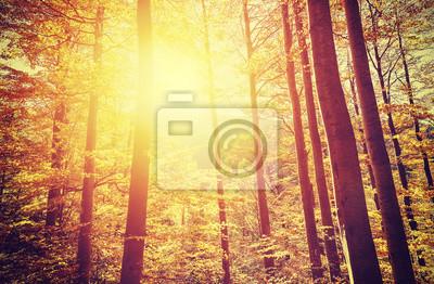 Poster Imagem tonificada retro da floresta outonal no por do sol.