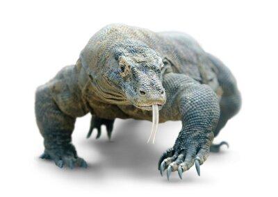 Poster Komodo dragão isolado no branco