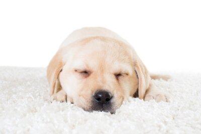 Poster Labrador, Filhote cachorro, dormir, macio, tapete