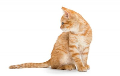 Poster Laranja, listrado, gatinho pequeno