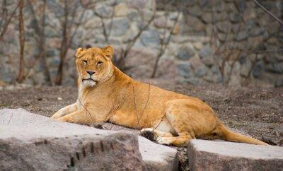 Poster Leão africano
