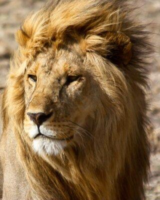 Poster Leão em África