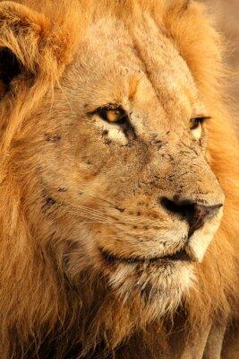 Poster Leão em Sabi Sands