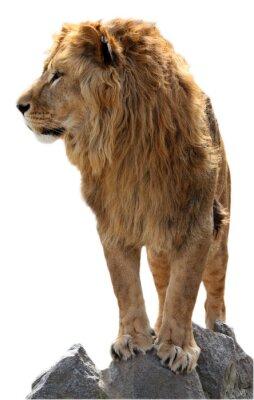 Poster Leão em uma pedra
