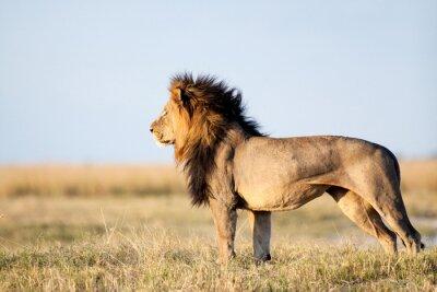 Poster Leão macho