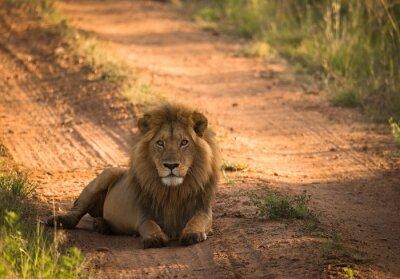 Poster Leão, manhã, africano, estrada